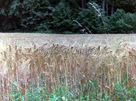 alimento agricultura trigo campo de trigo