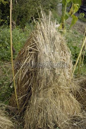 aehre trigo campo de trigo cereal