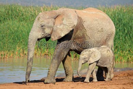 mamifero africa elefante animais selvagens bebe