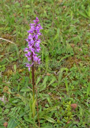 flor planta thuringia repolho erva orquidea