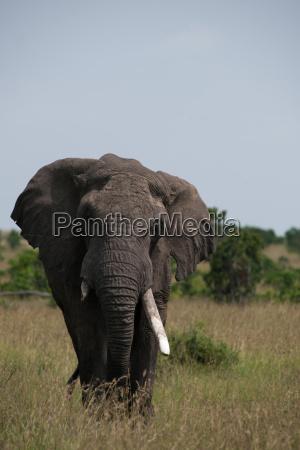 animal africa elefante quenia presa savana