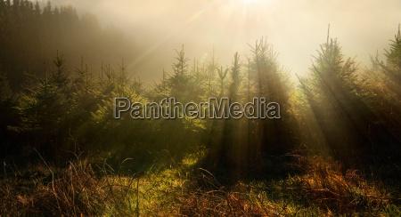 fir trees in a dreamy light