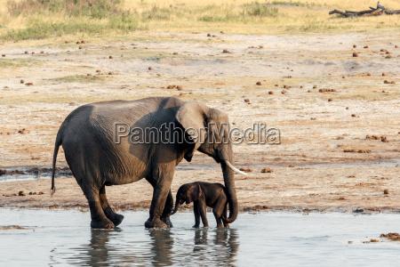 elefantes africanos com elefante de bebe
