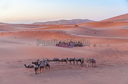 bedouin camp in the sahara desert