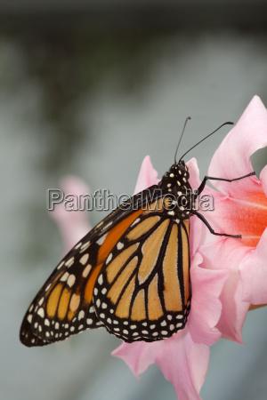 borboleta alaranjada