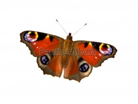 sommerfugl pa hvid baggrund med plads