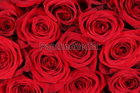 rosas vermelhas do fundo para o