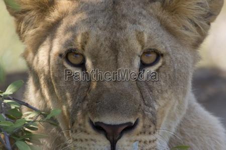 animal africa savana namibia gato olhos