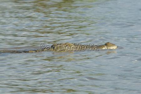 crocodilo do nilo lago chamo etiopia