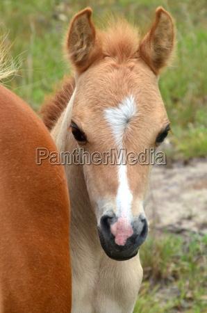 australia cavalo ponei egua potro animais