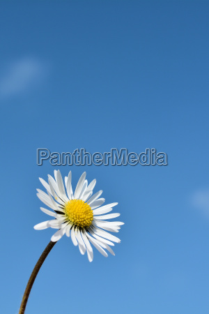 daisy e ceu azul na primavera