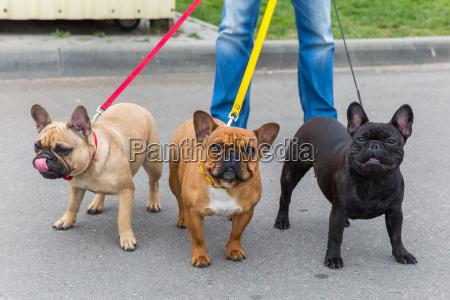 tres caes domesticos raca bulldog frances