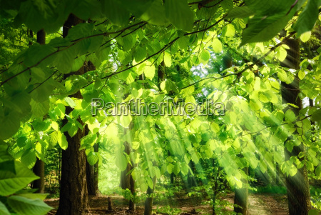 beams through fresh beech leaves
