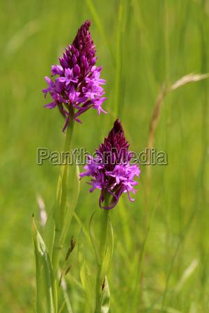nativo flor orquidea planta