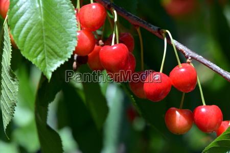 fruta cereja cereja de passaro vermelho