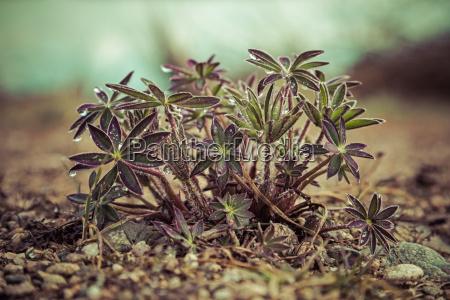 plantas tremoco jovens