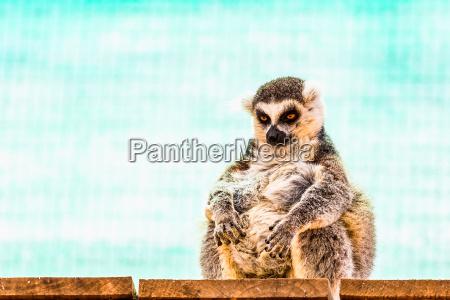 lemur engracado gordo