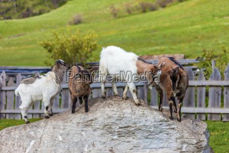 fazenda da familia goat