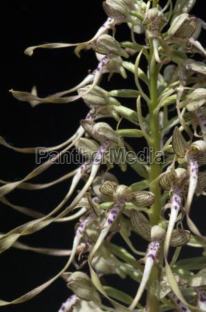 lingua fenugrego himantoglossum hircinum orquidea