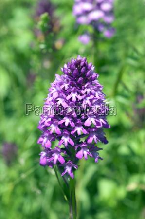 roxo planos piramidal flor orquidea planta