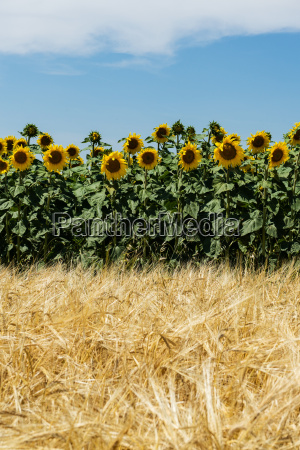 agricultura com girassois e milho