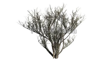 arvore inverno arbusto oliva africano palido