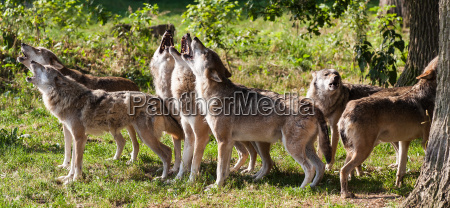 alguns uivo lobo lobos uivos