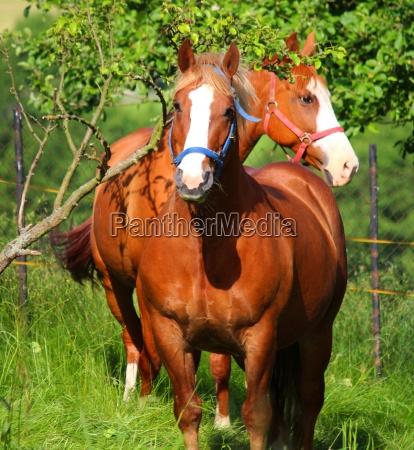 cavalo pecuaria