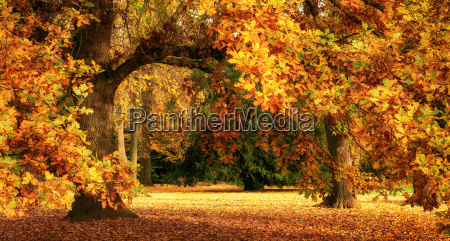 autumn scenery with a magnificent oak