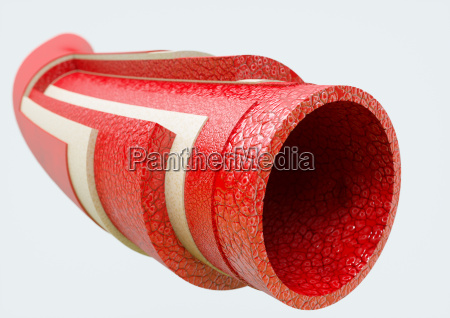 arteria na secao anatomica
