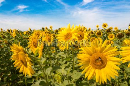 bio agricultura flor girassol planta girassois