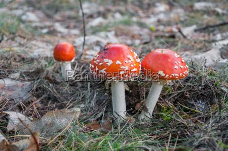 toadstool vermelho em uma floresta