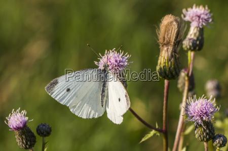 insetos animais mariposa borboleta borboletas natureza