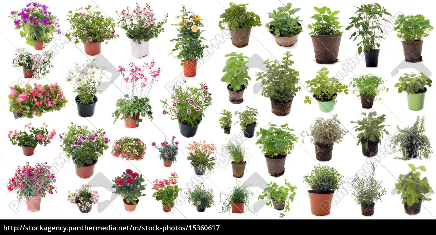 ervas, aromáticas, e, plantas, de, flores - 15360617
