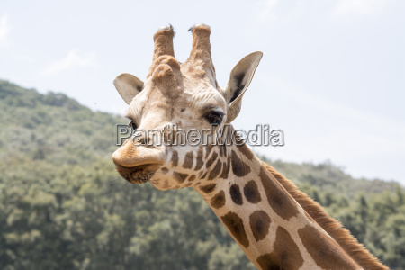 olhar do giraffe