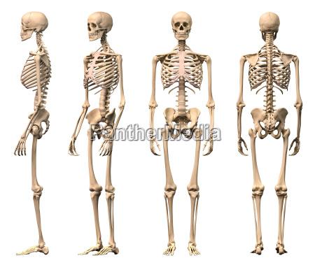 esqueleto humano masculino quatro vistas frente