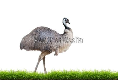emu com a grama verde isolada