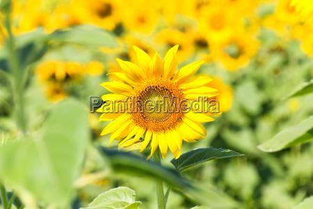 flor planta campo girassol paisagem natureza