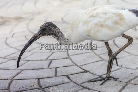 passaro ibis australiano branco brisbane