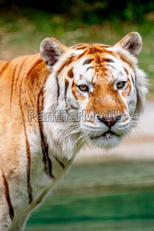 gato tigre bengala