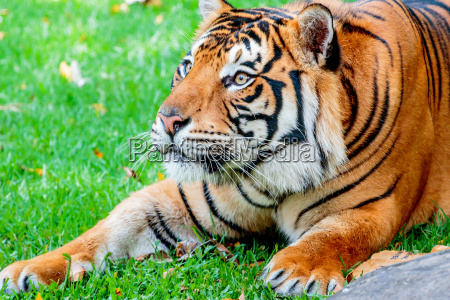 gato tigre sumatran