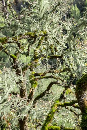 california musgo floresta