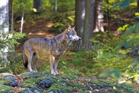 arvore arvores parque nacional bavaria lobo