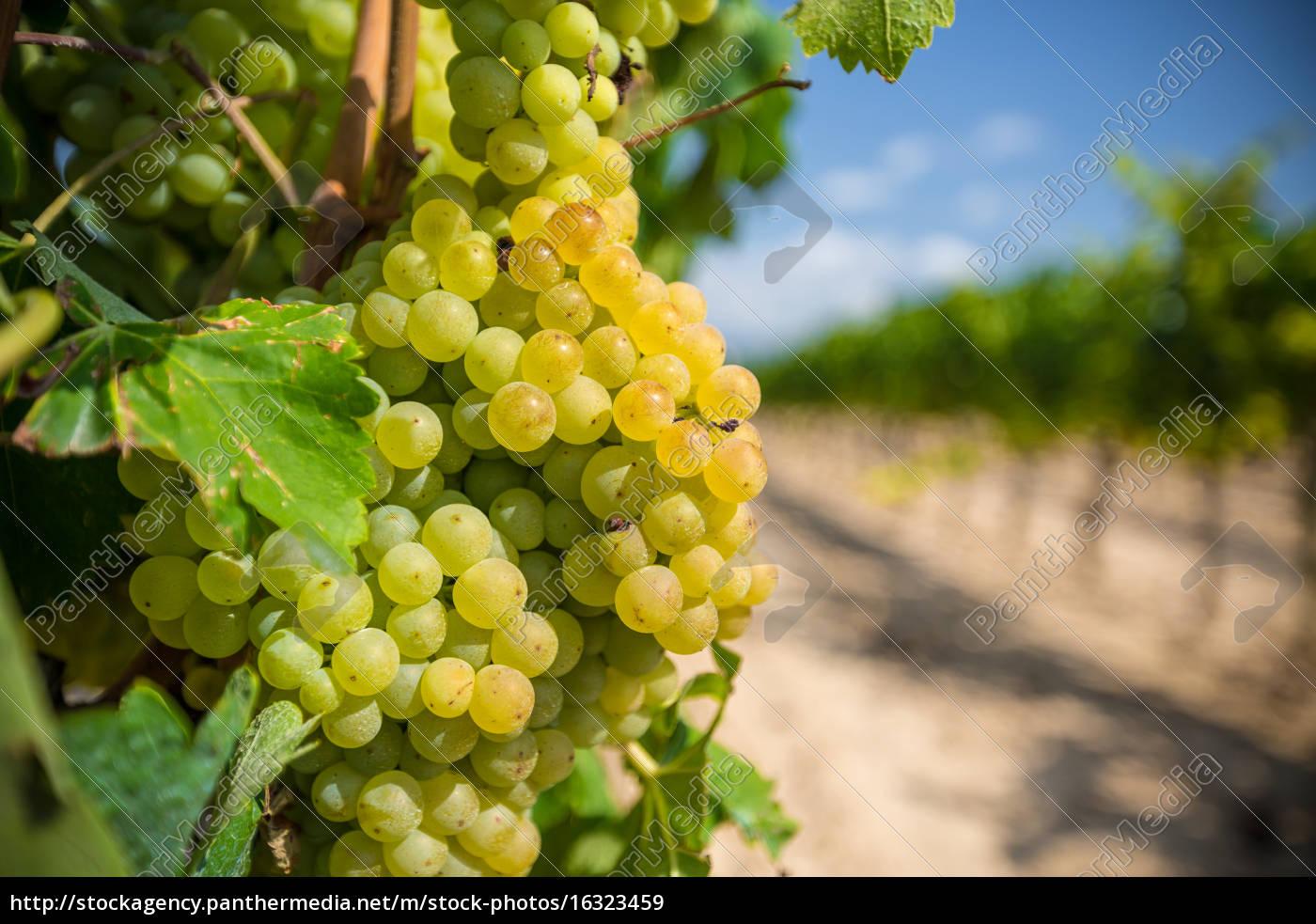 videira, com, uvas, brancas - 16323459
