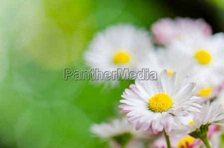 lindas flores de margarida close up