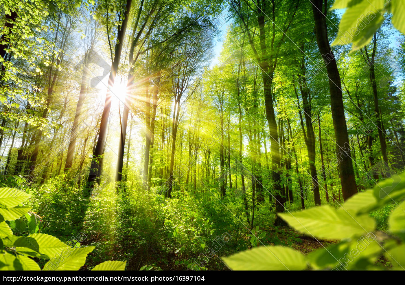 árvores, decídua, sunlit, na, floresta - 16397104