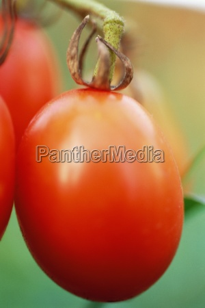 tomatoes on vine close up
