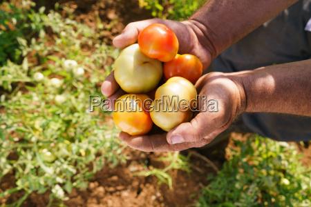 man farmer in tomato field showing