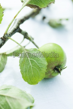 organic apple on branch