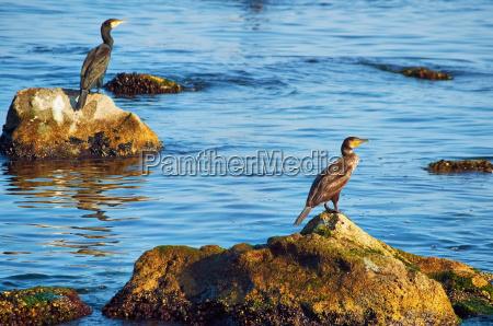 corvos marinhos nas pedras
